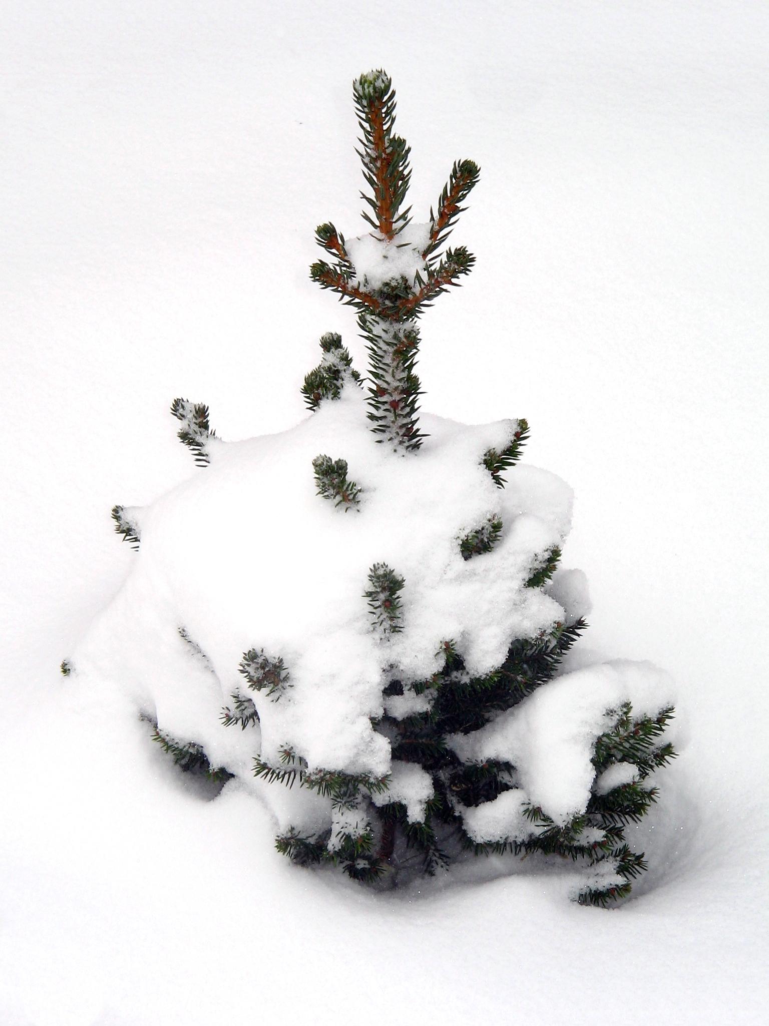 Weihnachtsbaum Selbst Schlagen Eventagentur Festmacher